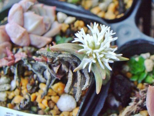 クラッスラ ラティケパラ (Crassula laticephala)とっても良い香りなのですが、今にもヘタリそうな草姿・・・復活なるでしょうか?2014.03.18