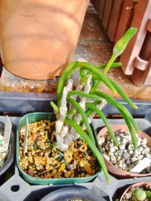 モニラリア オブコニカ (Monilaria obconica)11月に目覚めてから葉が茂り蕾ができました♪2014.02.05
