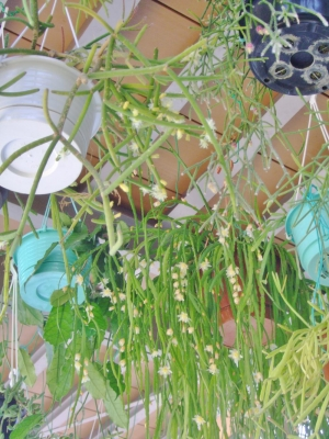 レピスミウム・ボリビアナム(奥:細長い薄葉茎節)、リプサリス・グランディフローラ(手前:6mm太さの棒状円筒茎節)などなど開花中♪2014.05.31