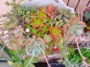 パキフィツム 群雀(グンジャク) Pachyphytum hookeri 入りの多肉寄せ植え♪茂っています。2014.05.30