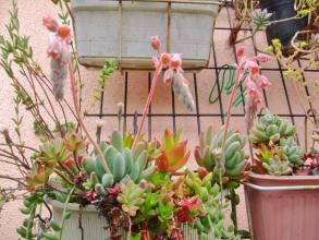パキフィツム 群雀(グンジャク)( Pachyphytum hookeri )なんとも言えないスモークパステル色なお花がキレイです\(^o^)/2014.05.30