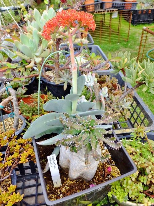ユーフォルビア・ステラータ(Euphorbia stellata)、和名:飛竜(ヒリュウ)&置いておいたら勝手に根付いて鮮やかに開花中♪クラッスラ・神刀(じんとう)♪2014.08.23