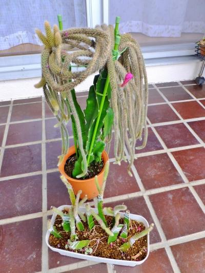 金紐サボテンも新茎節が出始め狂い咲きでしょうか?蕾が1つでき咲いたようです♪下~接ぎ木穂苗いくつかダメそうですが、いくつか成功しています\(^o^)/2014.08.23