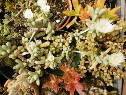 コルプスクラリア(=デロスペルマ)・リーマニー(Corpuscularia lehmannii )枝先にポチポチ白クリーム花が咲いています♪2014.08.04