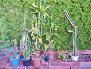 右:鬼面角(刺の無いタイプ、ヌーダム)(Cereus hildmannianus cv. nuda) 蕾が大きく咲きそうな気配♪2014.08.15~夕方
