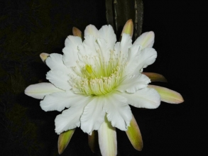 鬼面角(刺の無いタイプ、ヌーダム)(Cereus hildmannianus cv. nuda) 直径23cm~咲きました♪2014.08.15~10:30pm