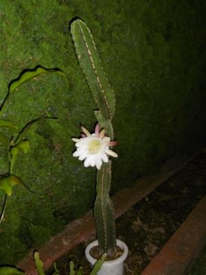 鬼面角(刺の無いタイプ、ヌーダム)(Cereus hildmannianus cv. nuda) 花火大会の感動さめやらぬまま帰宅すると咲いていました♪2014.08.15