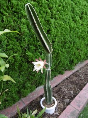 鬼面角(刺の無いタイプ、ヌーダム)(Cereus hildmannianus cv. nuda) 一日花が萎み始めました。2014.08.16~朝