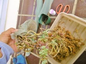 余りに長く伸びているのでそのまま束ねて網戸の網で根土をまとめて糸で縛って固定しました♪この上を水苔で覆います♪2014.08.16