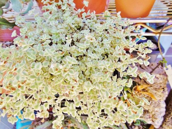 クラッスラ・ペルシダのミニタイプ?(セダム・リトルミッシー)お花が咲いています♪2014.08.18