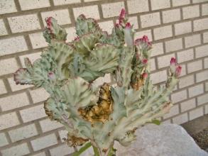 ユーフォルビア・ラクティアのセッカ(成長点が線に変異)が同属ユーフォルビア・キリン角(Euphorbia neriifolia )に接ぎ木されています♪2014.08.21